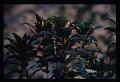 View Rhytidophyllum grandiflorum Xu & L.E. Skog ex Zanoni & Jiménez Rodr. digital asset number 7