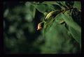 View Rhytidophyllum grandiflorum Xu & L.E. Skog ex Zanoni & Jiménez Rodr. digital asset number 9