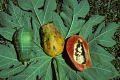 View Carica papaya L. digital asset number 2
