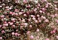 View Abronia villosa var. aurita digital asset number 0