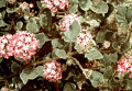 View Abronia villosa var. aurita digital asset number 1