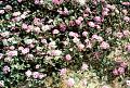 View Abronia villosa var. aurita digital asset number 2