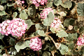 View Abronia villosa var. aurita digital asset number 3