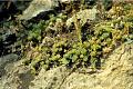 View Sedum glaucophyllum R.T. Clausen digital asset number 1