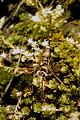 View Sedum glaucophyllum R.T. Clausen digital asset number 2
