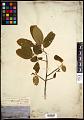 View Frangula californica subsp. tomentella (Benth.) Kartesz & Gandhi digital asset number 0