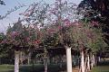 View Bougainvillea glabra Choisy digital asset number 0