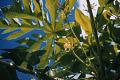 View Carica papaya L. digital asset number 3