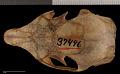View Sciurus yucatanensis yucatanensis digital asset number 6