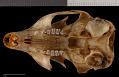 View Sciurus yucatanensis yucatanensis digital asset number 8