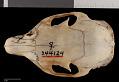 View Sciurus nayaritensis chiricahuae digital asset number 6