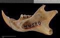 View Sciurus colliaei nuchalis Nelson, 1899 digital asset number 3