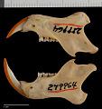 View Sciurus granatensis tarrae Hershkovitz, 1947 digital asset number 3