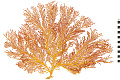 View Octocorals, Mexican Sea Fan digital asset number 0