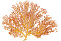 View Octocorals, Mexican Sea Fan digital asset number 1