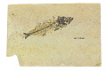 View Fossil Perch-like Fish digital asset number 2