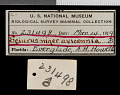 View Sciurus niger avicennia Howell, 1919 digital asset number 0