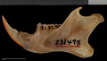 View Sciurus niger avicennia Howell, 1919 digital asset number 3