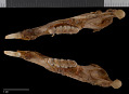 View Sciurus niger cinereus digital asset number 3