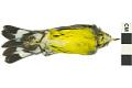 View Magnolia Warbler, Magnolia Warbler digital asset number 1