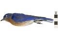 View Eastern Bluebird digital asset number 1