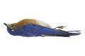 View Eastern Bluebird digital asset number 4