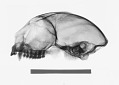 View Aotus lemurinus griseimembra digital asset number 0