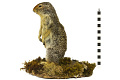 View Columbian Ground Squirrel digital asset number 5
