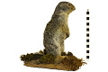 View Columbian Ground Squirrel digital asset number 3