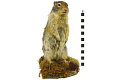 View Columbian Ground Squirrel digital asset number 2