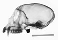 View Cercopithecus cephus cephodes digital asset number 0