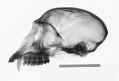 View Chlorocebus pygerythrus pygerythrus digital asset number 0