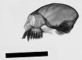 View Leontopithecus rosalia digital asset number 0