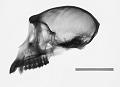 View Macaca fascicularis fuscus digital asset number 0