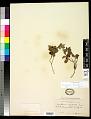 View Gaultheria humifusa (Graham) Rydb. digital asset number 0