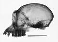 View Rhinopithecus roxellana roxellana digital asset number 0
