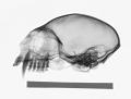View Saguinus oedipus digital asset number 0