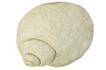 View Fossil Moon Snail, Fossil Moon Snail digital asset number 0
