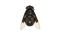 View Mexican Cactus Fly, Hoverfly digital asset number 0