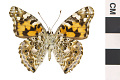 View Painted Lady digital asset number 2