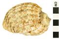 View Major Harp, Harp shell digital asset number 2
