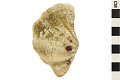 View Small Giant Glam, Elongated Giant Clam digital asset number 3