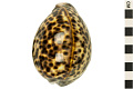 View Tiger Cowrie, Tiger Cowrie shell digital asset number 7