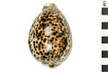 View Tiger Cowrie, Tiger Cowrie shell digital asset number 3