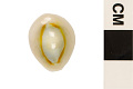 View Gold Ringer, Ring Cowry, Gold-ringer Cowrie digital asset number 7