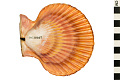 View Noble Scallop, Noble Scallop digital asset number 6