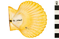 View Noble Scallop, Noble Scallop digital asset number 4