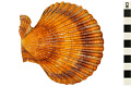 View Noble Scallop, Noble Scallop digital asset number 1