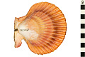View Noble Scallop, Noble Scallop digital asset number 0