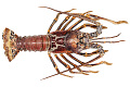 View Caribbean Spiny Lobster digital asset number 0